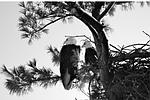 Blad eagle nest