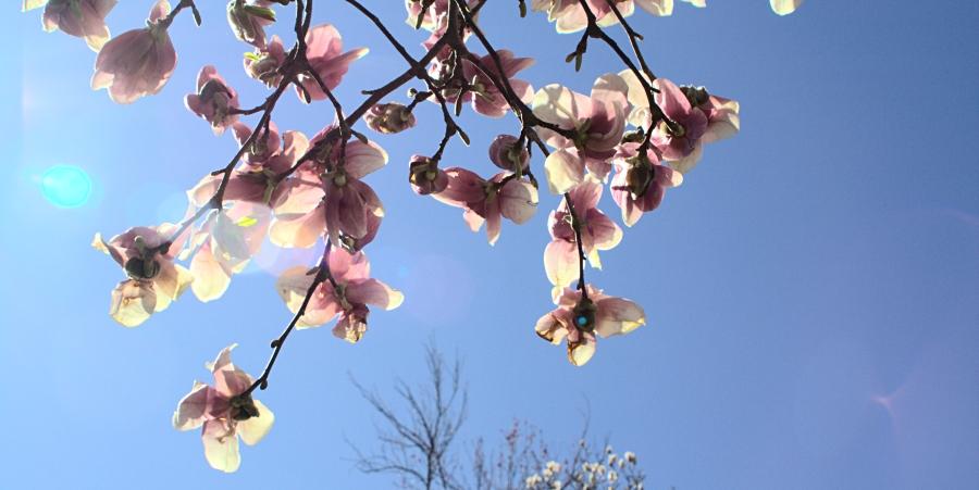 magnolia tree tattoo. Magnolia Tree at Palisades
